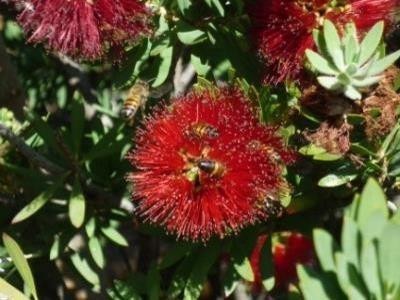 2015 Reisebericht Namibia 03 Flaschenbürstenbaum