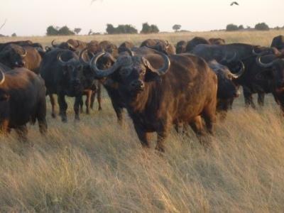 2015 Reisebericht Namibia 36 Bisons