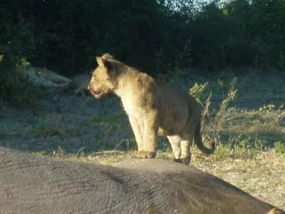 2015 Reisebericht Namibia 37 Löwe